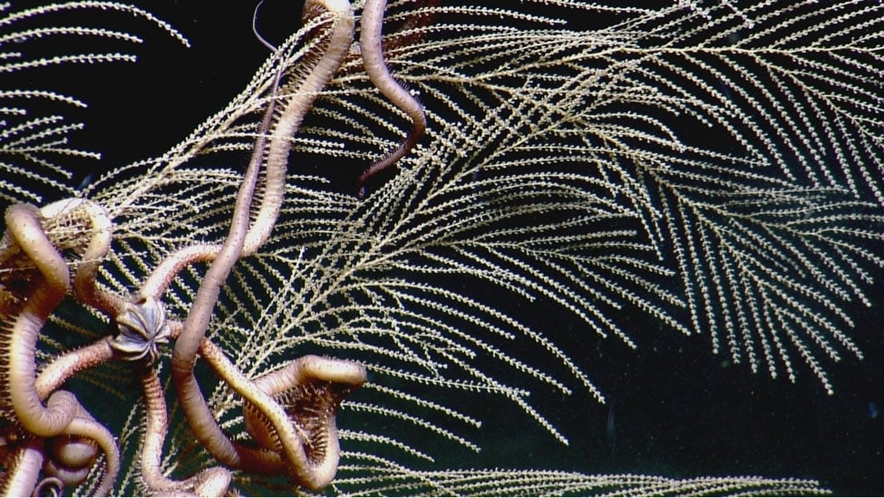 Close-up of a brittle star clinging to a deepwater Callogorgia octocoral in the Gulf of Mexico. (credit: Ocean Exploration Trust and ECOGIG