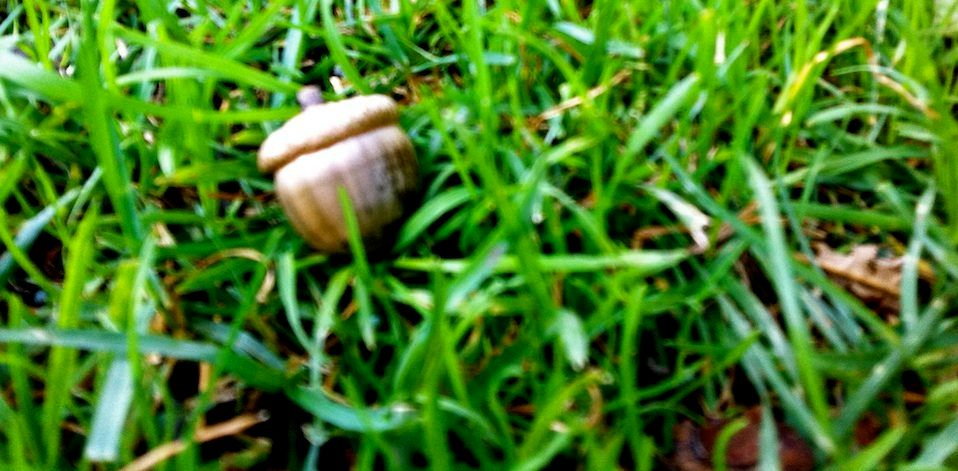 a color photo of acorn seed in green grass