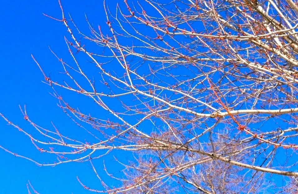 Color photo of a maple tree budding in mid-winter