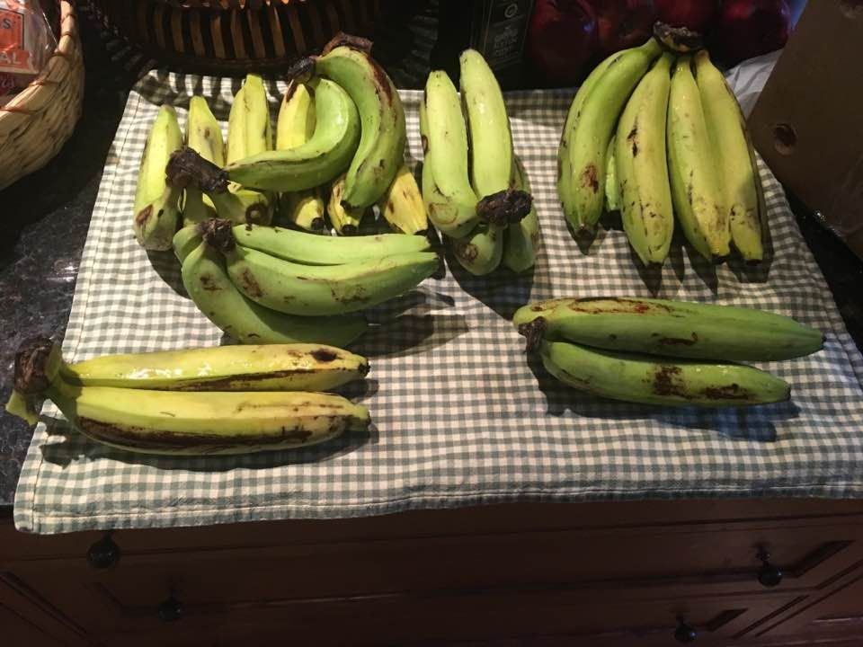 Gros Michel bananas in various stages of ripening on a counter