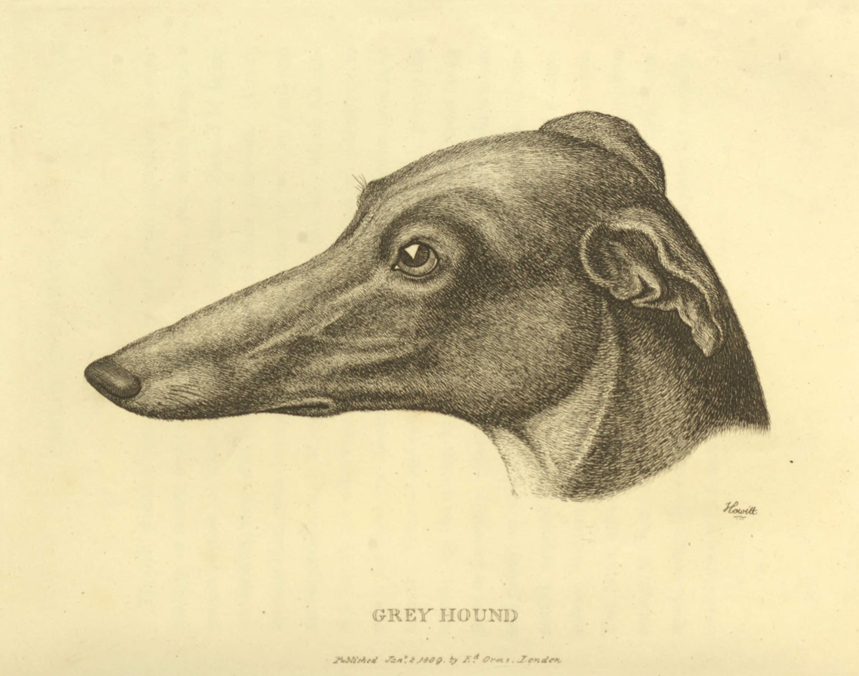 greyhound-profile-rawscan