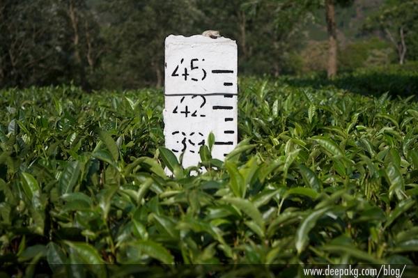 I am a Complan tea plant