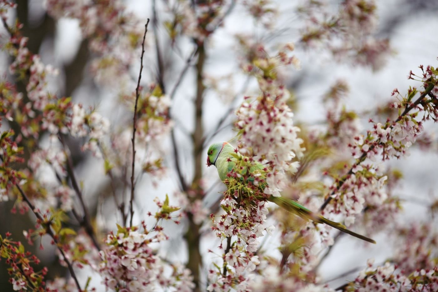 A parakeet amidst cherry blossoms