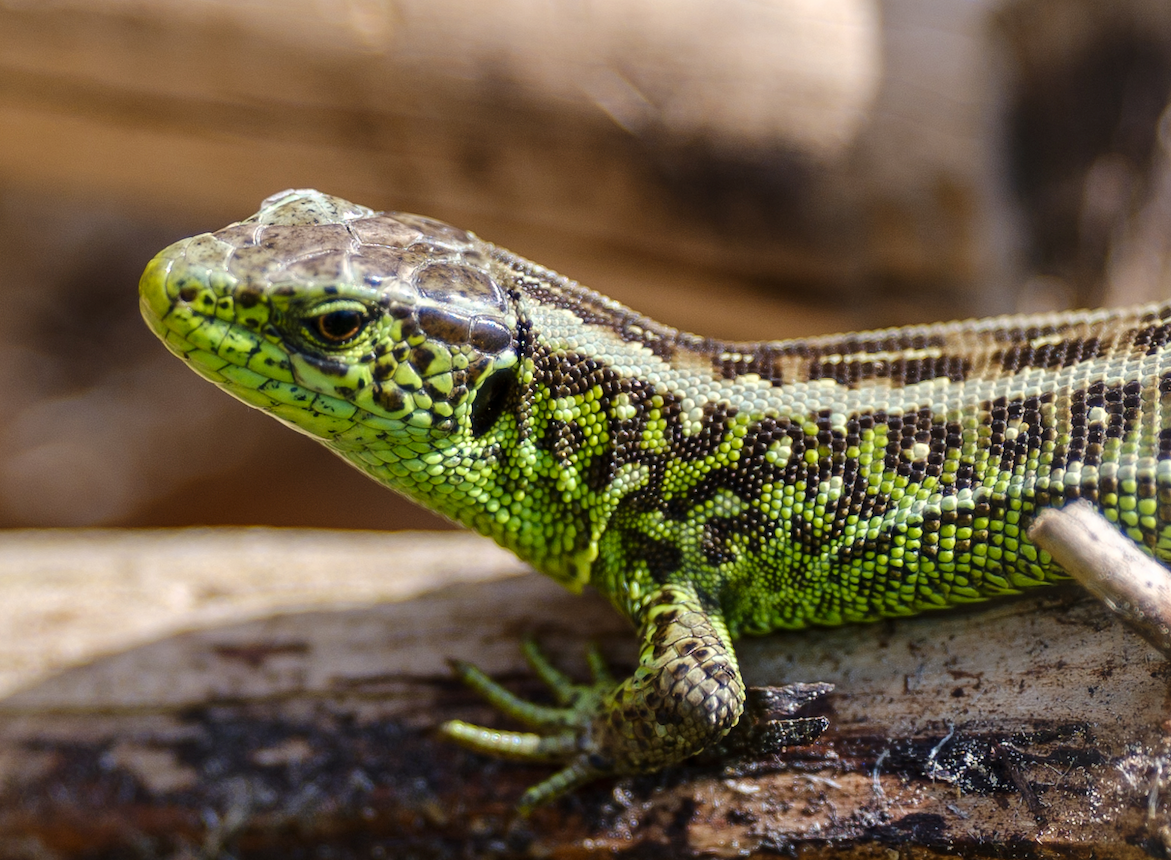 A 1:1 detail view. Not only can you count the scales on my lizard buddy (lacerta viridis, I believe), you can also clearly see how thin the depth of field is, even from a distance.
