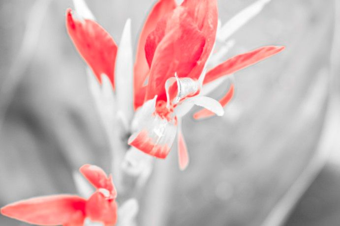 A grayscale photo of a flower with only red