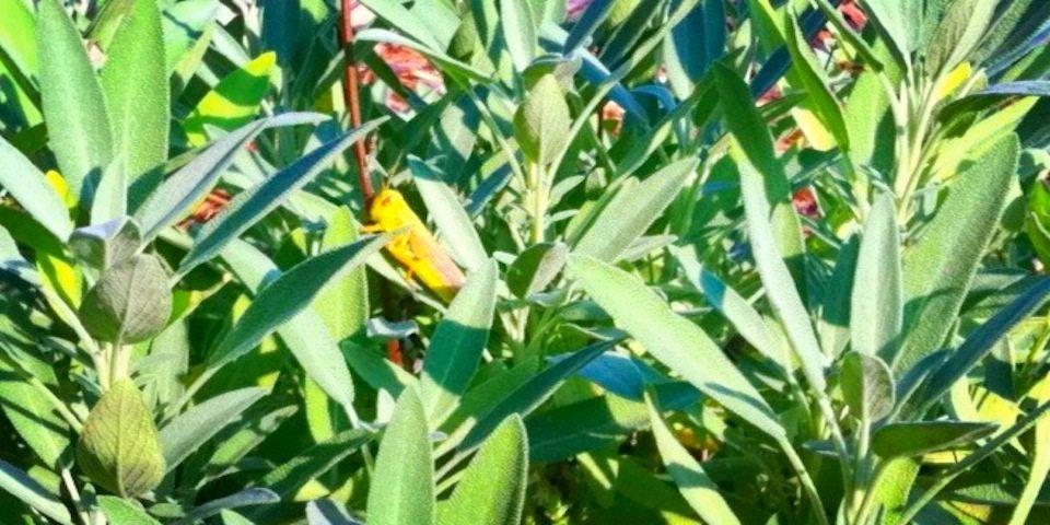 a green grasshopper sits on a green sage leaf
