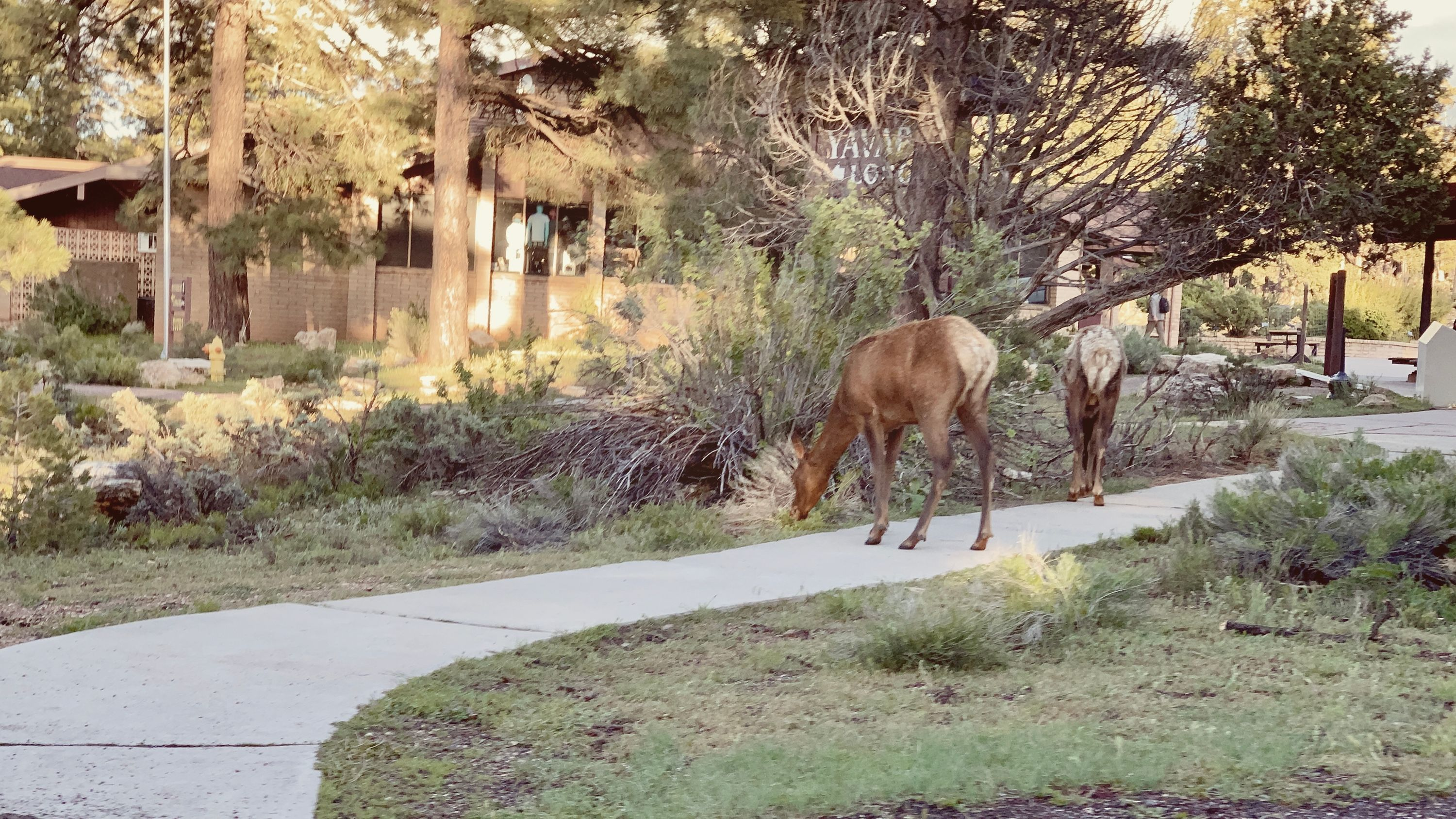 Random Elk grazing near a Grand Canyon Visitor's Center