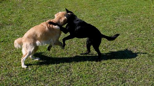 Juno and Big Ears Wrestling