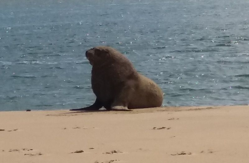 Sea lion on the beach at Surat Bay, Catlins