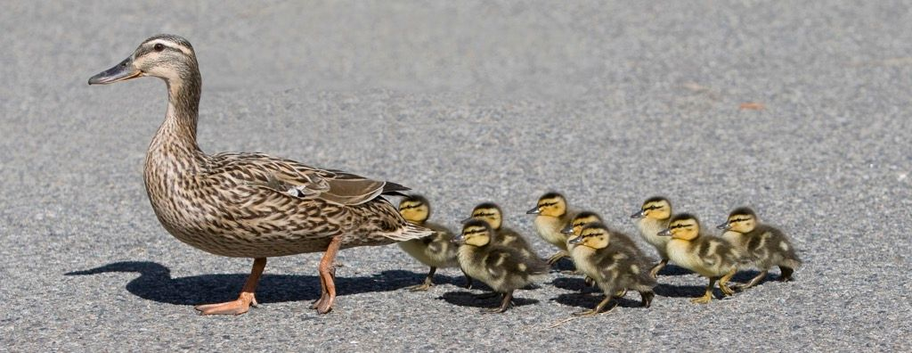 Mama and her 9 little ones crossing the road