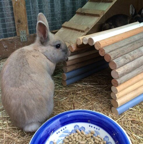 light brown rabbit beside a tunnel made of old broom handles