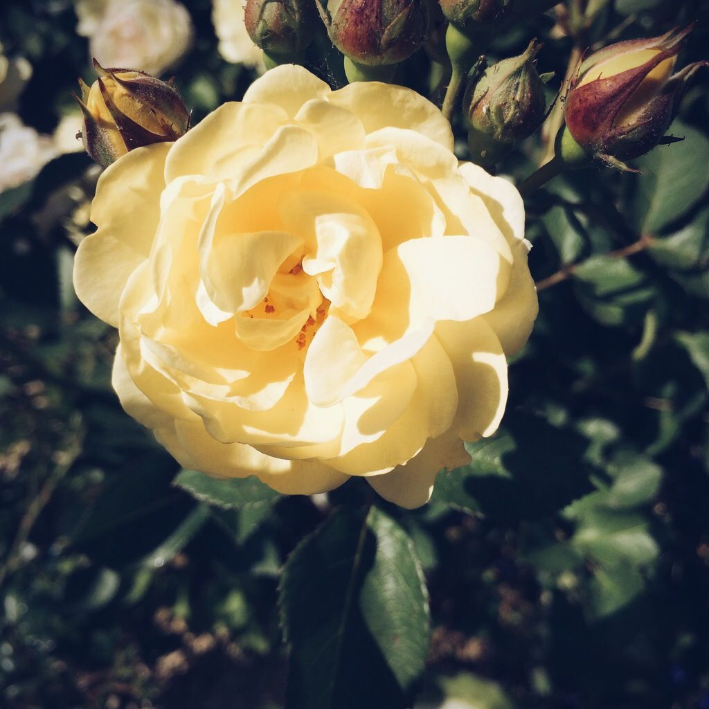Eine Rose ist eine Rose ist eine Rose…