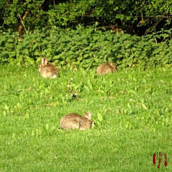 Several rabbits in a field doing nothing viral video worthy