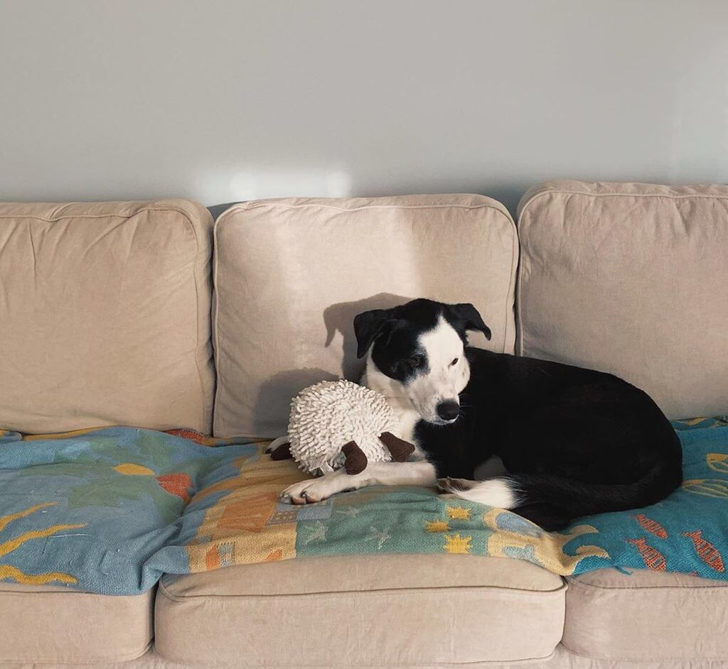 A black and white dog sits on a couch, hugging a stuffed sheep, looking nervously off screen.