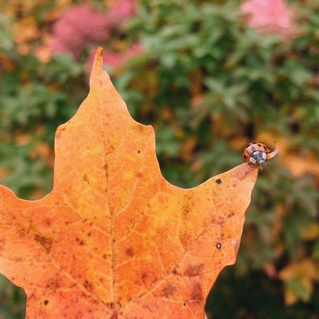 A ladybug on a fallen leaf.