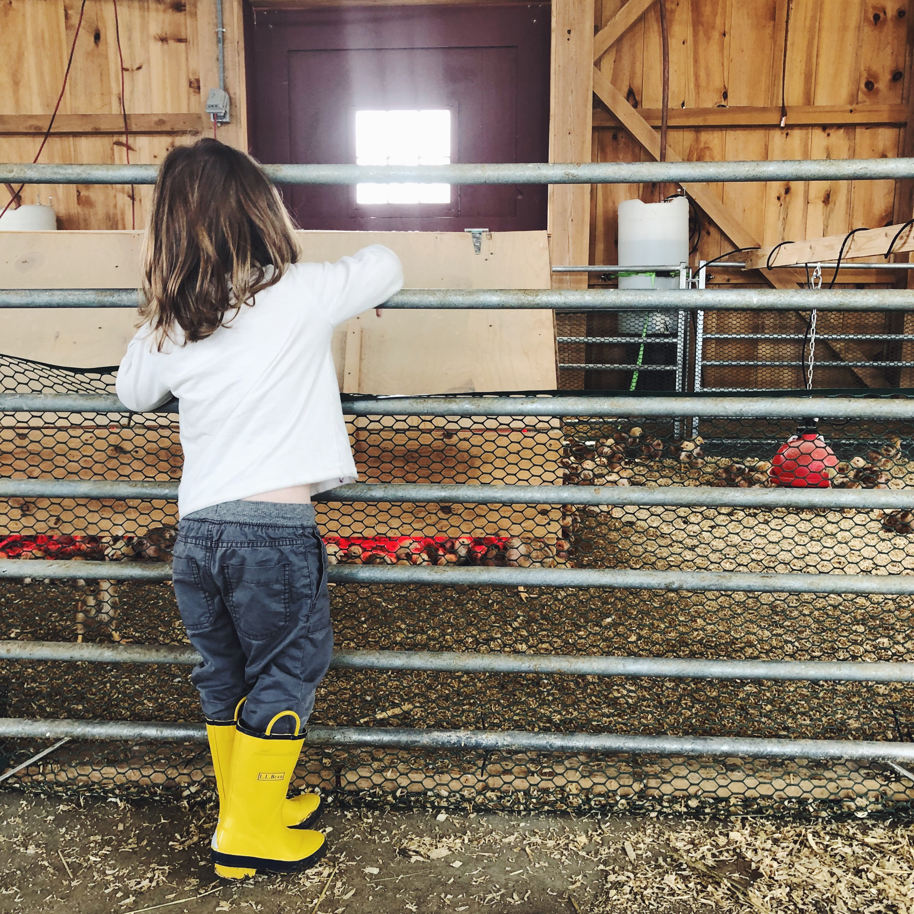 Young child reaching over a low fence looking at baby chickens.
