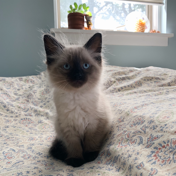 Picture of a Siamese cat kitten on a bed. It has very blue eyes.