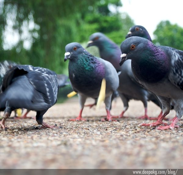 Pigeons and Fries