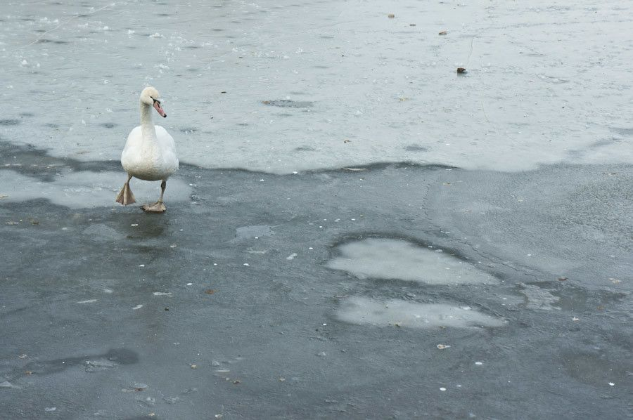 The swan that wasn't frozen after all