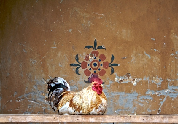 The lonely rooster
