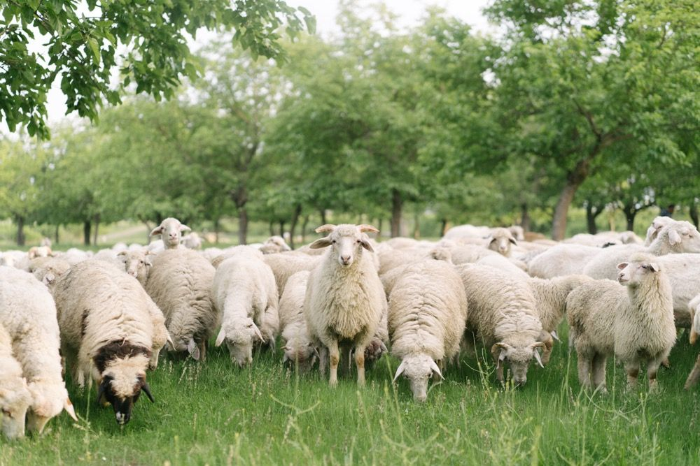 Flock of sheep grazing in a green pasture.