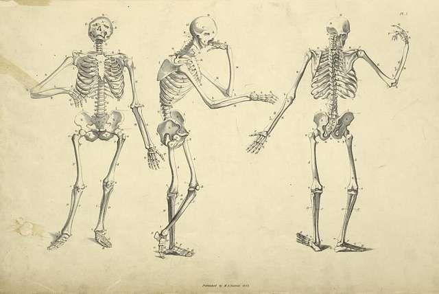 Drawing of three posed skeletons