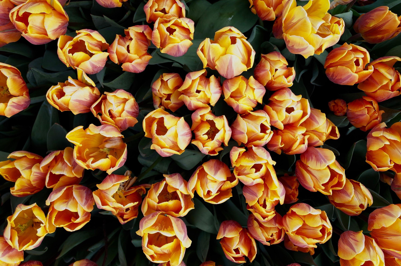 tivoli-tulips 34371569136 o