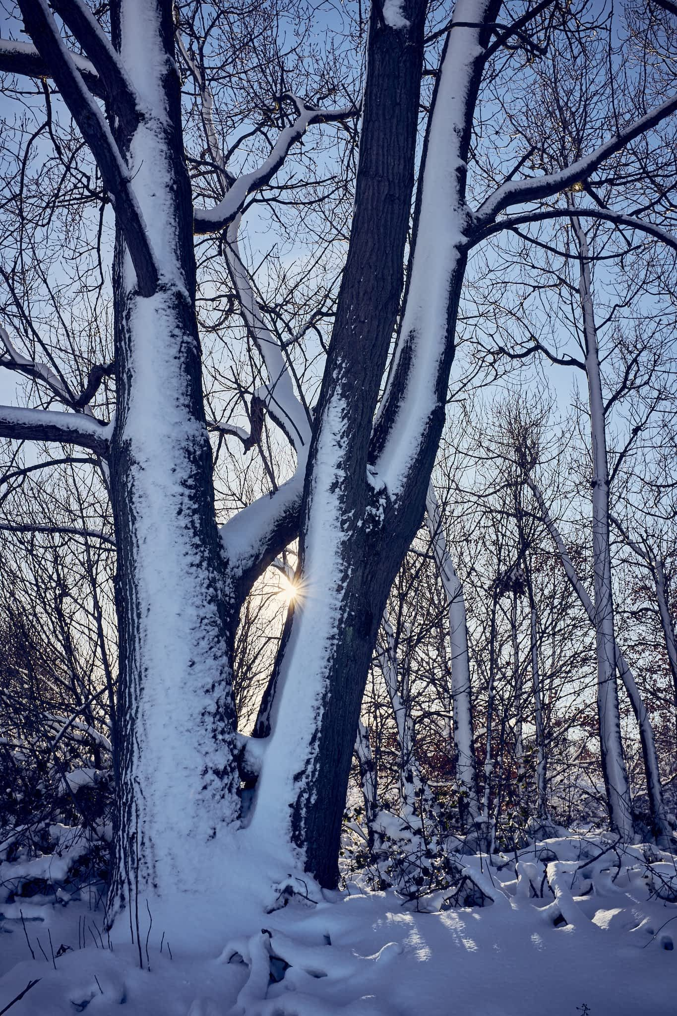 snow covered trunks
