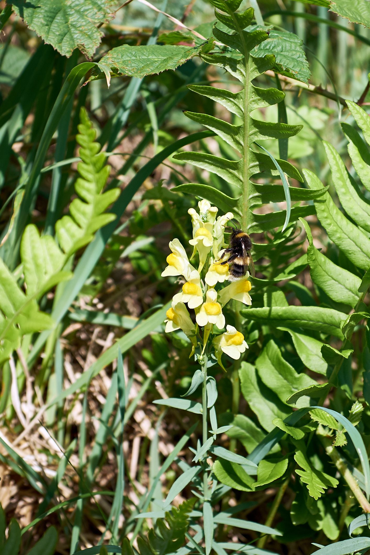 toadflax and bee