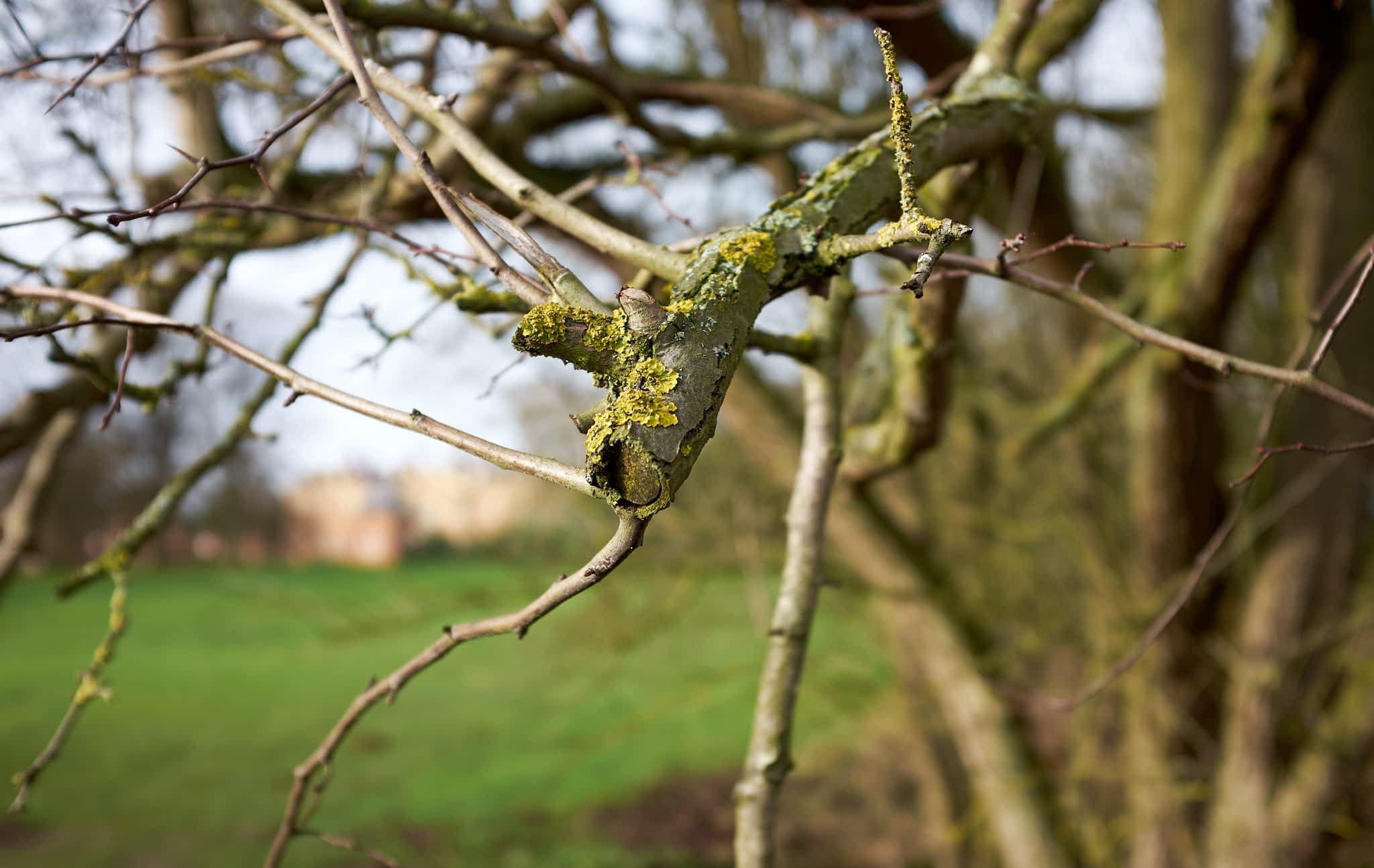 lichen-covered branches