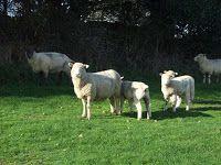 Sheep in Tom's Field
