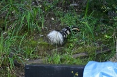 releasing the spotted skunk