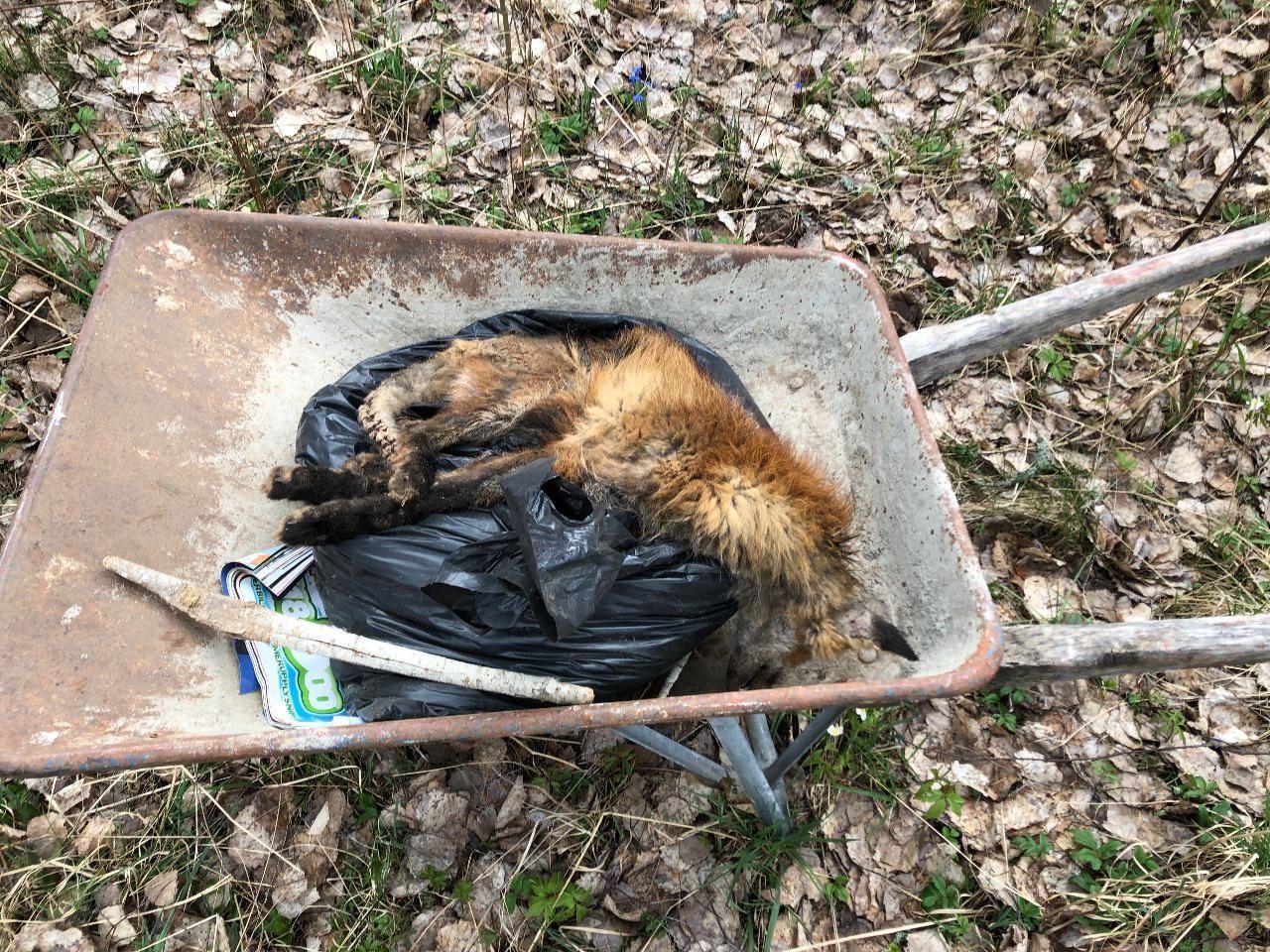 Räven var död när vi fann den.